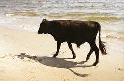 Dark bull on beach. Dark bull (silhouette) walking on the beach in Saint George (Sfantu Gheorghe) Danube Delta. Film scan, showing grain Royalty Free Stock Photos