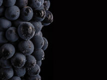 Dark bunch of grape in low light on black isolated background , macro shot , water drops. Dark bunch of grape in low light on black isolated background , macro Royalty Free Stock Photo