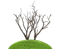 Dark and burned of dead tree isolated on white background. Royalty Free Stock Photo