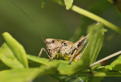 Dark Bush-cricket Stock Photos