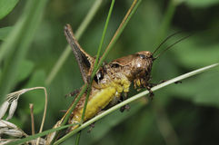 Dark Bush-cricket Stock Images