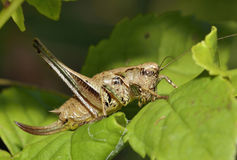 Dark Bush-cricket Royalty Free Stock Photography