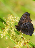 Dark butterfly Royalty Free Stock Photos