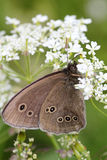 Dark butterfly. On white flower Royalty Free Stock Images