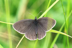Dark butterfly. On green grass Royalty Free Stock Images