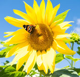 Dark butterfly and blossoming sunflowe Stock Image