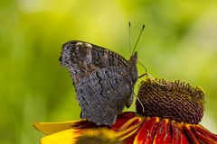 Dark Butterfly Drinking Nectar From Orange Petals Royalty Free Stock Images