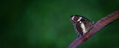 Dark Butterfly With White Markings On A Branch. A beautiful dark butterfly with white markings sitting on a branch.  Simple image on dark background with space Stock Images