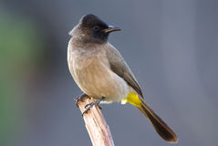 Dark-capped Black-eyed Bulbul pyconotus. Bulbul dark-capped black-eyed adult male, perched on branch Royalty Free Stock Photos