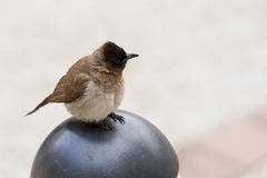 Dark-capped Bulbul. The Dark-capped Bulbul Pycnonotus tricolor can be seen even in campgrounds at Kruger National Park in South Africa royalty free stock photo