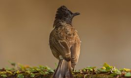 Dark Capped Bulbul on a Wall. Closeup view of a Dark Capped Bulbul bird. This Songbird is grayish brown above and whitish brown below with a pointy Crest top of stock photography