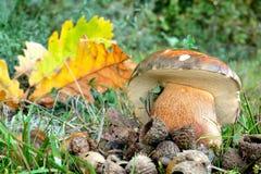 Dark cep or Bronze bolete mushroom Stock Photo