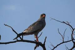 Dark Chanting Goshawk Royalty Free Stock Image