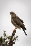 Dark Chanting Goshawk Stock Images