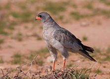 Dark Chanting Goshawk (Melierax metabates) Royalty Free Stock Photo