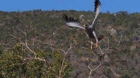 Dark Chanting Goshawk, melierax metabates, Adult in Flight, taking off, Tsavo park in Kenya,. Slow motion stock video