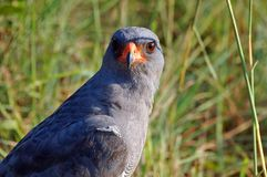 Dark Chanting Goshawk (Melierax metabates) Stock Photo