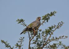 Dark chanting goshawk royalty free stock photography