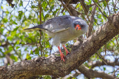 Dark Chanting Goshawk. A Dark Chanting Goshawk, standing on the branch of a tree, looking downwards for prey in Kenya's Masai Mara stock images