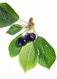 Dark cherries. Two dark cherries with leaves Stock Photo