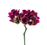 Dark-cherry orchid isolated on the white Stock Photography