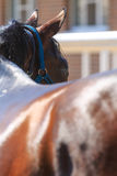 Dark chestnut horse in a blue bridle. Rear view, closeup stock photography