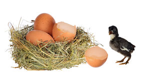 Dark chicken near nest with eggs Royalty Free Stock Photography