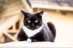 Dark Chocolate Brown and White Cat Sitting on a Fencepost Stock Image