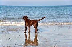 Dark Chocolate Labrador Retriever. Dark brown Labrador Retriever stands on the shore and watch the sea Stock Image