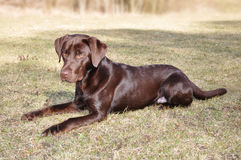 Dark Chocolate Labrador Retriever Royalty Free Stock Image