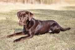 Dark Chocolate Labrador Retriever. Young dark brown Labrador Retriever lying on command on the meadow Royalty Free Stock Image