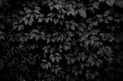 Dark climbing plant Stock Photos