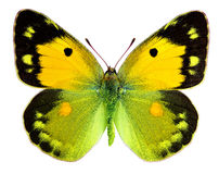 Dark Clouded Yellow butterfly (Colias croceus). Dark Clouded Yellow (Colias croceus) isolated on a white background Royalty Free Stock Photos