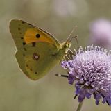 Dark Clouded Yellow butterfly from Europe Stock Image