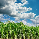 Dark clouds over field with maize Royalty Free Stock Photo