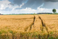 Dark clouds over a wheat field with wheel tracks Stock Photos