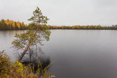 Dark clouds with rain over the lake and lone over the water pine in fall Stock Photography