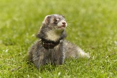 Dark color ferret on fresh green grass in spring park stock photography
