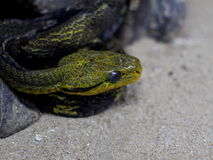Dark color with green yellow stripes dangerous snake with rough textured skin Royalty Free Stock Image