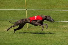 Dark colored greyhound racing Stock Image