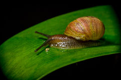 Dark colored snail in nature sitting on green Royalty Free Stock Photography