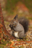 Dark coloured red squirrel Stock Photos