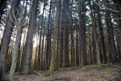 Oregon Coastal Forest Trail. Dark coniferous trees stand tall in dense green forest along Oregon's lush coastal area Royalty Free Stock Image