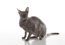 Dark Cornish Rex cat sitting on the white table with reflection. White Background. Looking Straight. stock image