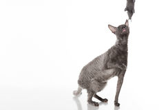 Dark Cornish Rex cat sitting on the white table with reflection. White Background. Looking Up and Playing with Mouse Toy Royalty Free Stock Images