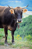 Dark cow Royalty Free Stock Image