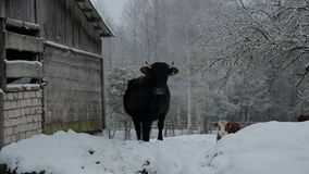 Сow under snow. Dark cow standing under the snow in a beautiful snow-covered village stock footage