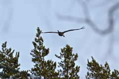Crane flying above the trees. Dark crane flying over trees late in the evening. Some blur branches on foreground royalty free stock photography