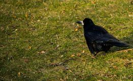 Dark crow standing on the ground. Place for inscription stock photo