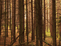 Dark&Deep2. A dense forest of white pine Stock Image